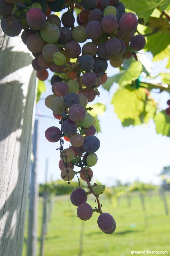 Wineries in Door County – grapes in the vineyard at Simon Creek Vineyard & Winery
