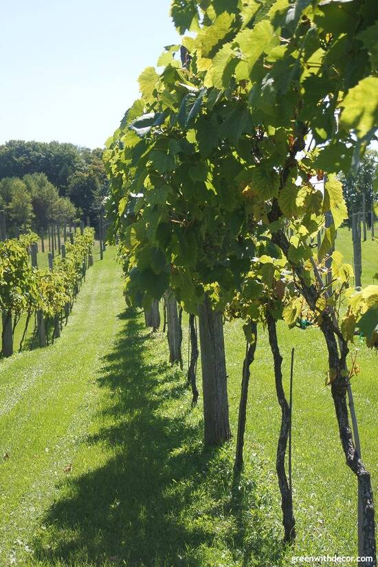 Wineries in Door County – vineyard at Simon Creek Vineyard and Winery